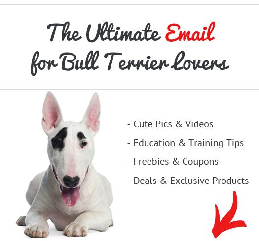education bull terrier