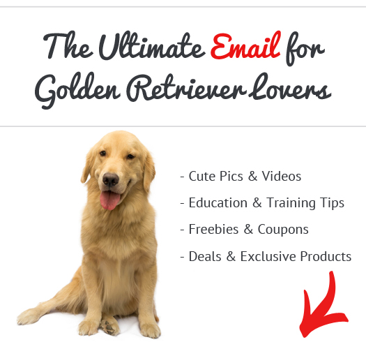 Golden Retriever News, Stories, Pictures & Products