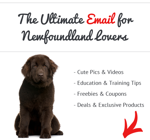 Are Newfoundlands Good Apartment Dogs See What Real Newfoundland Owners Say