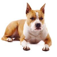 american-staffordshire-terriers