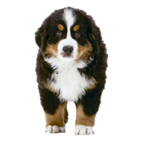 bernese-mountain-dogs