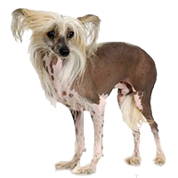 chinese-crested-dogs