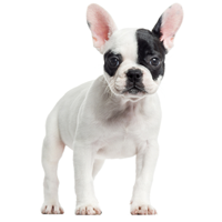 french-bulldogs