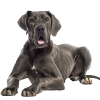 Great Dane News, Stories, Pictures & Products - Great