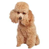Poodle News Stories Pictures Amp Products Poodles Home
