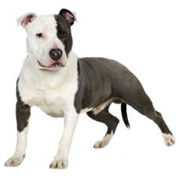 staffordshire-bull-terriers