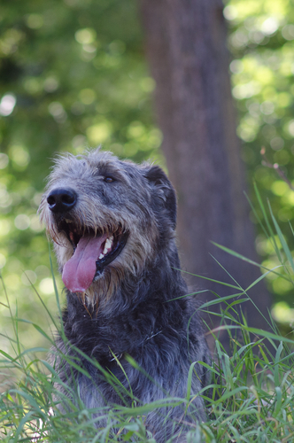 The Irish Wolfhound Tops Our List as The Worst Guard Dog