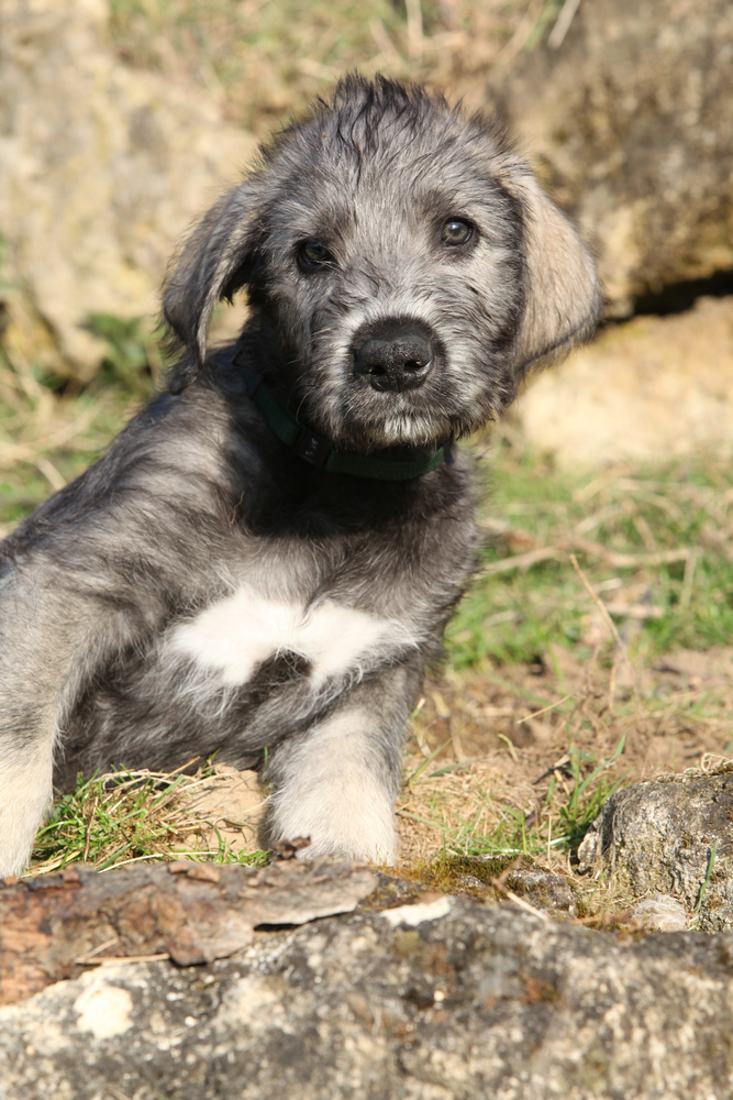 irish-wolfhound-puppy