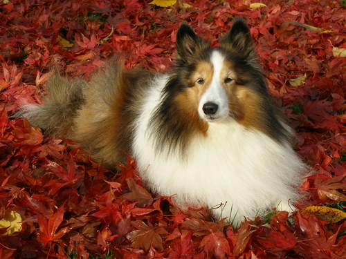 sheltie-adult