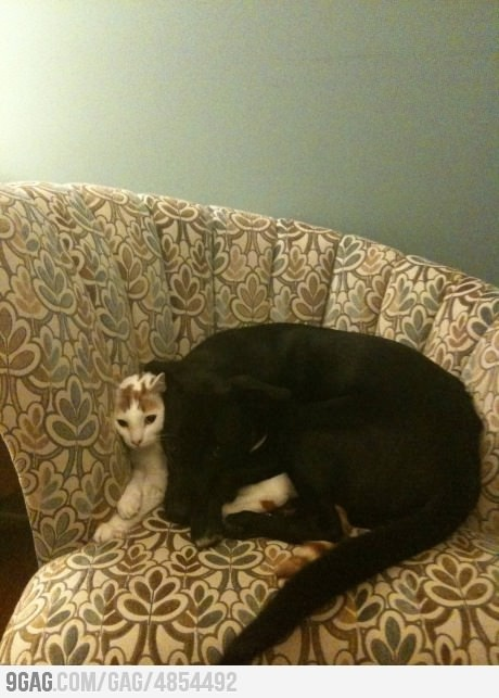 And I think this dog loves to cuddle with the cat!