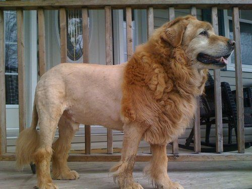 German Shepherd Lion Cut Lion haircut?