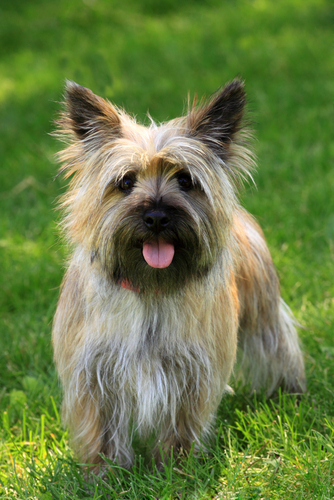Breed Profile: Learn About The Cairn Terrier