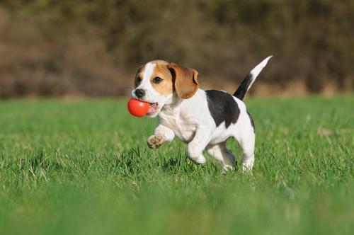 beagle-bark