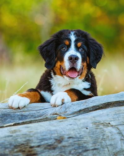 bernese-mountain-puppy