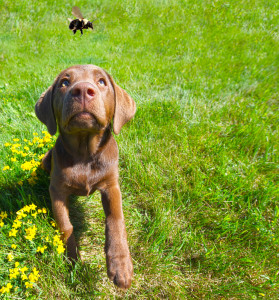 Watch your dog, especially if he seems to be the type that chase and snaps at bees