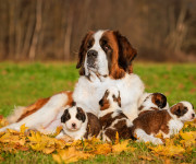 stbernard and puppies