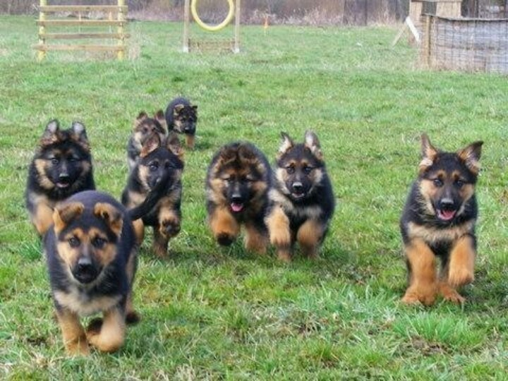 Popular German Shepherds Army Adorable Dog - 017  Gallery_776959  .jpg