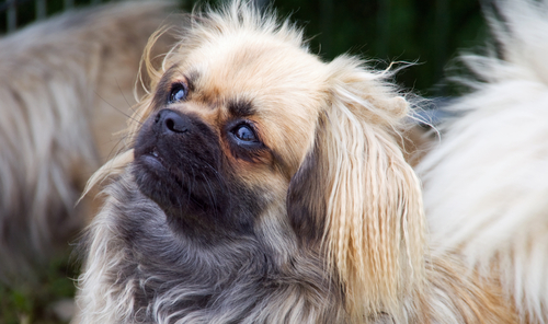 The 10 Best Lap Dog Breeds Iheartdogs Com