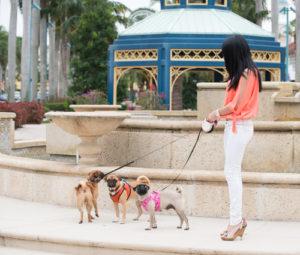 retractable leash pug