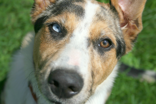 Why Do Some Dogs Have 2 Different Eye Colors Iheartdogs Com