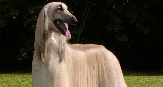 The 10 Most Elegant Dog Breeds