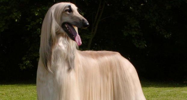 The 10 Most Elegant Dog Breeds Iheartdogs Com