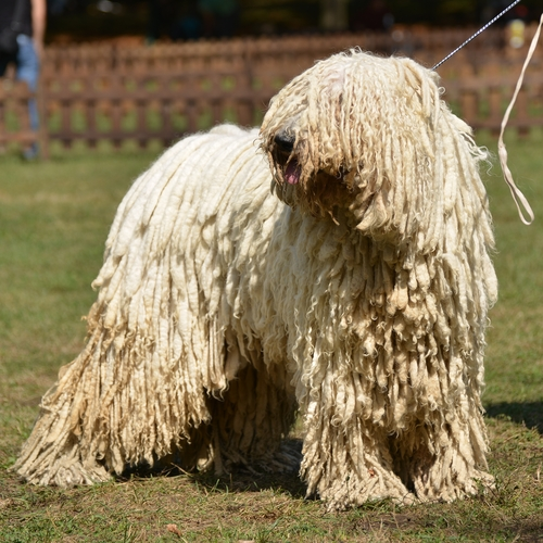 Dog Breed Looks Like Mop Dreadlocks