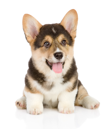 Everything You Need To Know About Puppy Warts – iHeartDogs.com