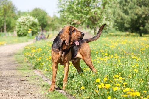 bloodhound-dog-breeds