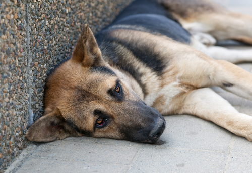 """While this dog doesn't exactly look happy, he is not """"head pressing."""" Don't get confused and think if your dog is rubbing on you for affecting, or lying against a wall, that he his head pressing. You will have a lot of expensive vet visits if you do."""