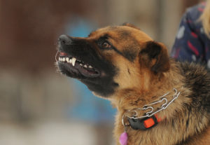 """A dog showing an aggressive """"smile"""" or snarl"""