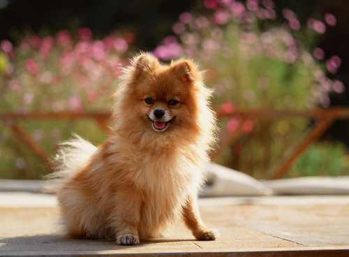 The 10 dog breeds that live the longest for Fluffy little dog breeds