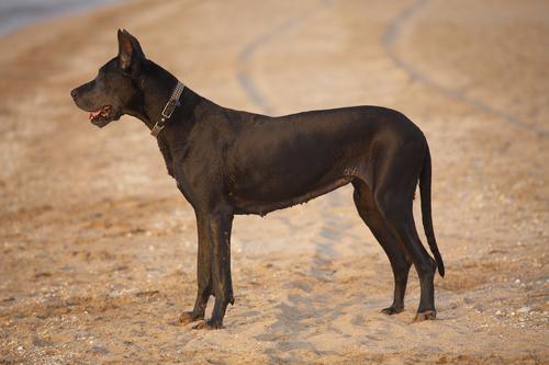 great-dane-dog-breeds