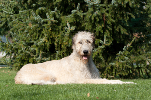 Irish-Wolfhound-dog-breeds