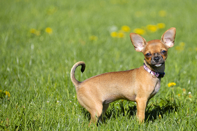 Short-haired Chihuahua low maintenance