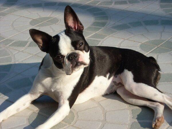 Boston Terrier outside
