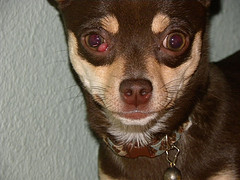 Although some breeds are prone to cherry eye, any can have it, like this chihuahua @Chris via Flickr