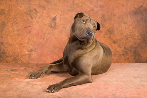 Bone Mouth Shar Pei