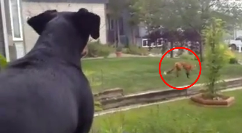 A Dog Left His Toy Outside And A Fox Found It The Best