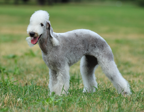 10 Very Unique Dog Breeds You Unique Looking Dog Breeds