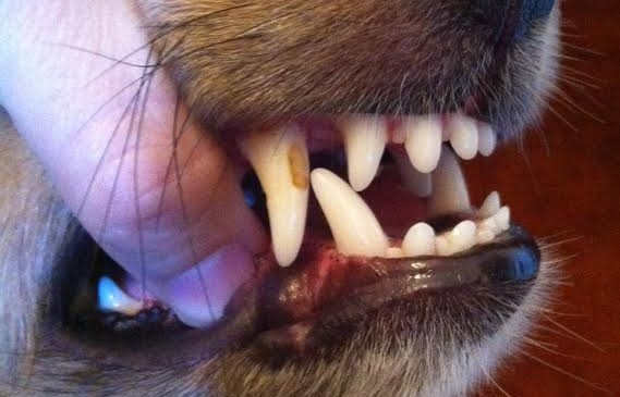 My Dog Has a Chipped Tooth – Should I Worry?