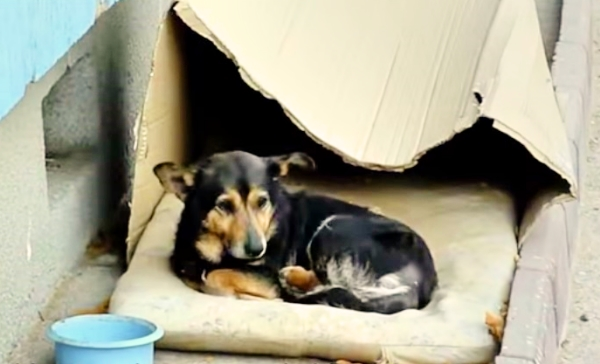 Homeless Dog Living In A Cardboard Box Finally Gets A