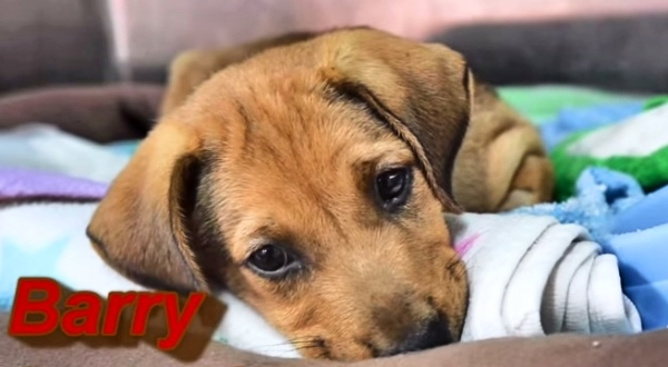 Paralyzed Street Dog Puppy Survives & Thrives. The Last 60 Seconds Will Give You Happy Tears!