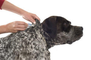 Putting topical on your dog is not enough if you have flea infestation, they will keep breeding in your carpet and come back.