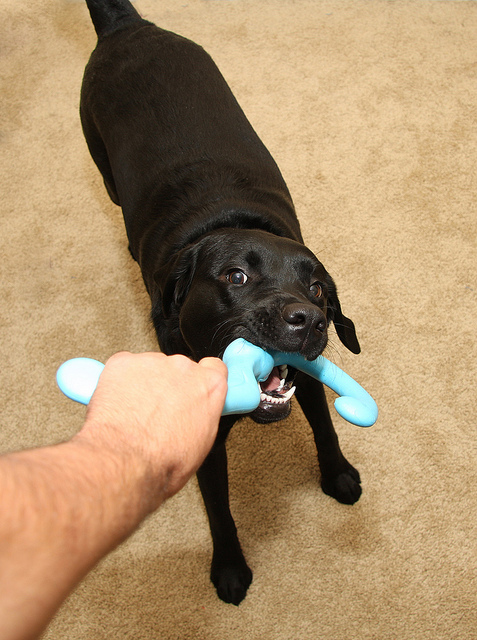 Playing with your dog can encourage chewing and biting. Just make sure he doesn't grab you. Image source: @AndrewMagill via Flickr