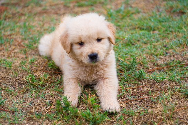 10 dog breeds that have the cutest puppies iheartdogs image source andresmoreira via flickr voltagebd Image collections