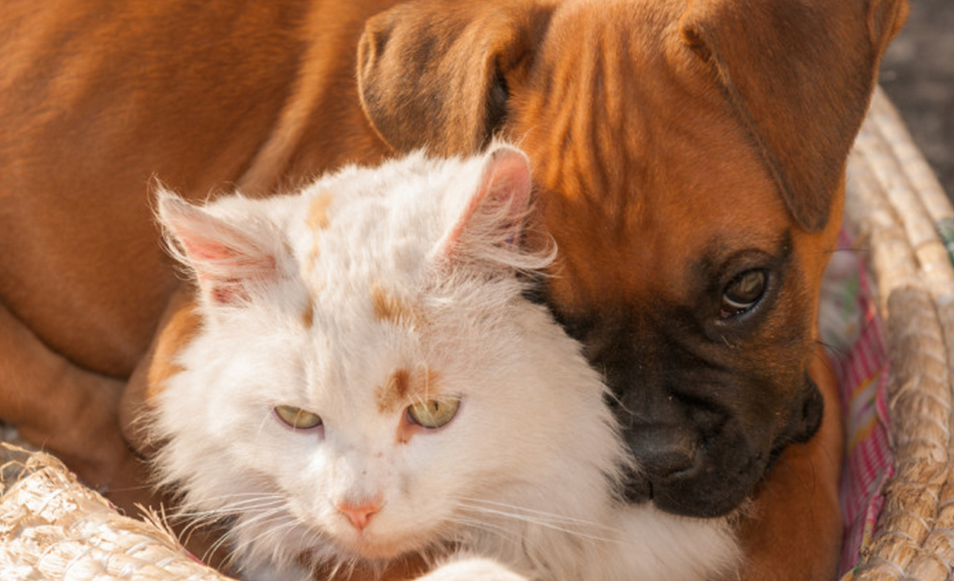 The 10 Most Cat Friendly Dog Breeds Iheartdogs Com
