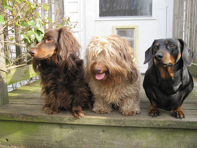 15 Things You Didn T Know About Dachshunds Iheartdogs Com