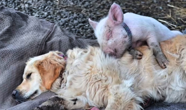 A Sick Amp Dying Pig Meets A Blind Dog And For A Moment
