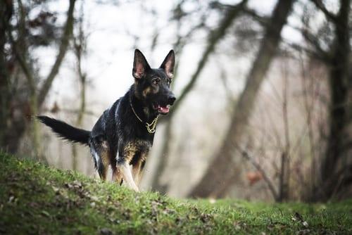 german-shepherd-protection-dog